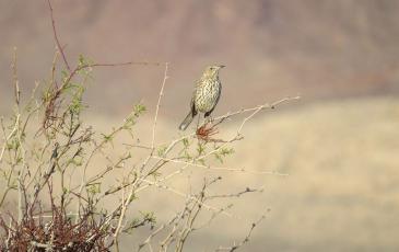 Bird in Mohave Desert sitting on a branch