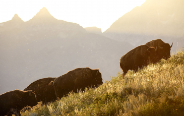 Four bison climbing up a hill
